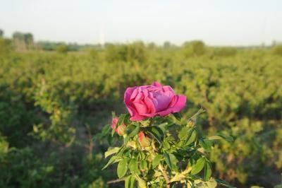 北京通州區 近百畝地食用玫瑰花采摘正當時,需要的可以私聊我