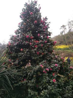 四川省內江市隆昌縣 七心茶花,規格齊全,樹形漂亮。歡迎選購。