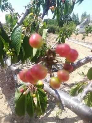 山東省濟寧市鄒城市 無公害綠色真正農家種出來的大櫻桃