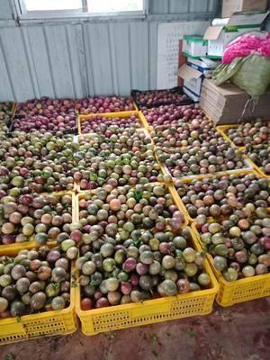 廣東省茂名市信宜市 品質優良的百香果,現有紫香果供應