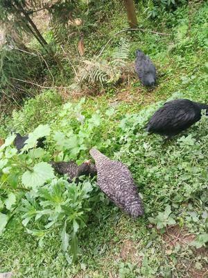 重慶江津區 散養土雞