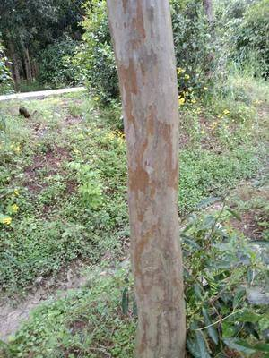 安徽省黃山市祁門縣 紅花紫薇樹木,從8公分一20公分直徑,分枝點2米以上。