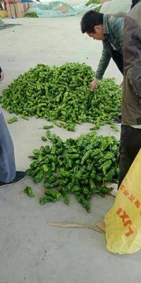 山東省臨沂市蘭陵縣 大量供應5號辣椒,質優價廉,歡迎訂購