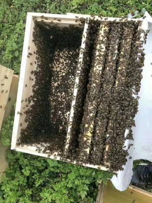 四川省成都市新津縣 蜜蜂中華蜜蜂