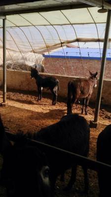 寧夏回族自治區固原市彭陽縣 我有一批育肥驢苗現己成功想出售有需要的聯系