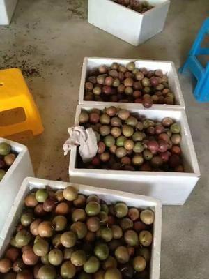 廣西壯族自治區玉林市容縣臺農一號百香果 果農長期合作伙伴我們決定了這個方案