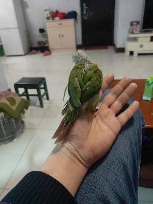 山東省泰安市寧陽縣文鳥 出售手養寵物鳥
