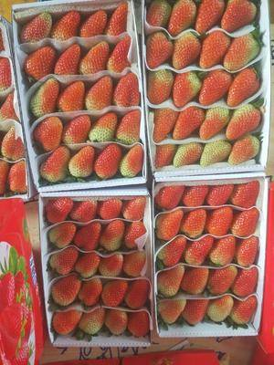 云南省曲靖市會澤縣蒙特瑞草莓 基地大量供貨
