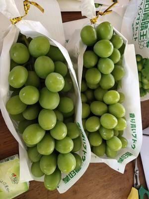 云南省紅河哈尼族彝族自治州建水縣陽光玫瑰 0.8-1斤 5%以下 1次果