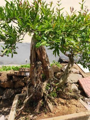 山東省泰安市泰山區造型石榴樹 泰山石榴樹盆景
