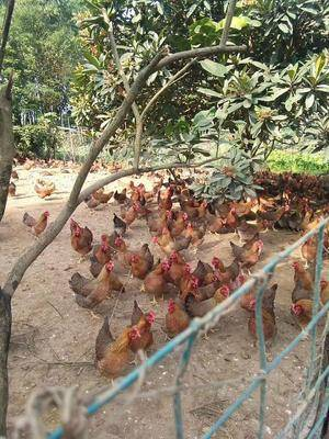 廣東省廣州市白云區清遠麻雞 3-4斤 母