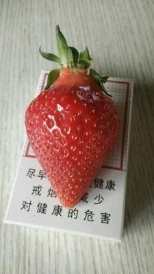 遼寧省遼陽市遼陽縣 草莓,意大利品種