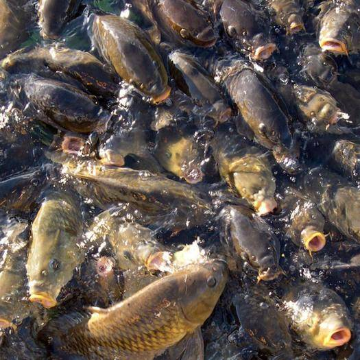 貴州省貴陽市白云區池塘鯉魚 人工養殖 0.25-1公斤