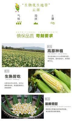 云南省昆明市東川區 甜玉米