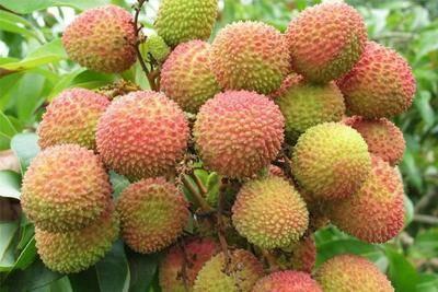 廣東省茂名市化州市 日啖荔枝三百顆,不辭長作嶺南人。