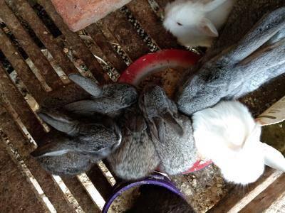 陜西省商洛市丹鳳縣黑兔  1斤以下 常年出售種兔,兔苗。