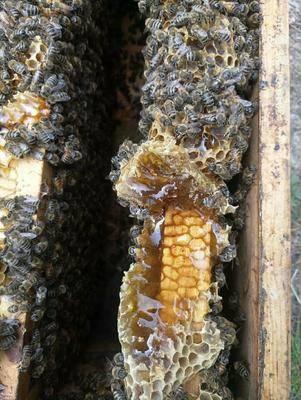 甘肅省隴南市西和縣土蜂蜜 山花蜜