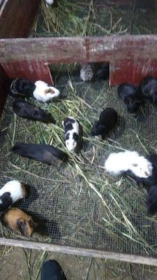 廣西壯族自治區來賓市興賓區生態黑豚鼠