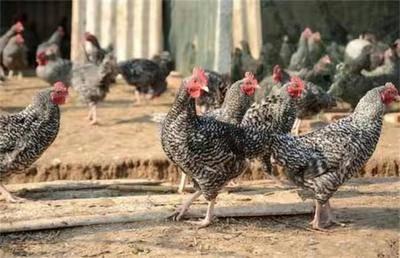 江蘇省泰州市姜堰區 正宗散養蘆花雞,出貨僅僅剩下400只,要的速度了