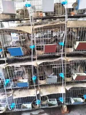 山東省濟寧市嘉祥縣 種兔養殖,雜交野兔