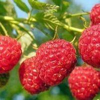 江蘇省常州市溧陽市 野生樹莓