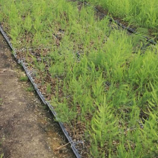 山东省菏泽市曹县 芦笋种子芦笋根芦笋高产优质品种营养钵育苗。