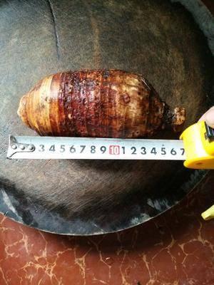 廣西壯族自治區南寧市賓陽縣 荔浦芋頭 香芋 檳榔芋頭 大芋頭  多規格大中小均有 上市中