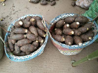廣西壯族自治區賀州市平桂區 廣西大芋頭 檳榔芋香芋
