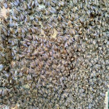 蜜蜂一箱2只蜂王2群蜂連蜂箱連脾發貨