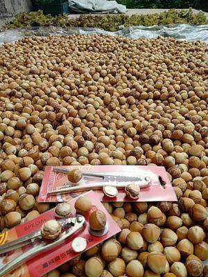 遼寧省本溪市桓仁滿族自治縣 平歐大果榛子鮮果,鮮吃風味獨特