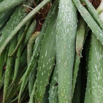 庫拉索蘆薈移栽苗40公分以上耐旱易活成活率高