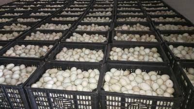 陜西省渭南市大荔縣麻鴨蛋 食用 散裝