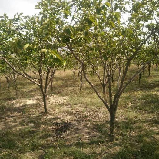 陕西省咸阳市渭城区柿子树接穗 柿子树