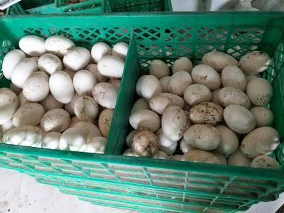 河北省石家莊市欒城區 大量新鮮鵝蛋