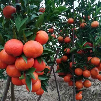 美国糖桔苗 根系发达,粗壮,可签纯度合同