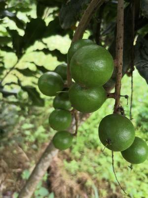 廣西壯族自治區崇左市龍州縣夏威夷果 自家種植,個大肉甜!