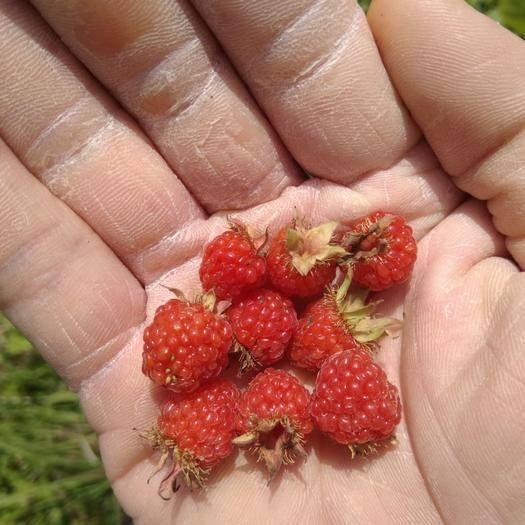江西省九江市瑞昌市 山莓  樹莓  三月泡
