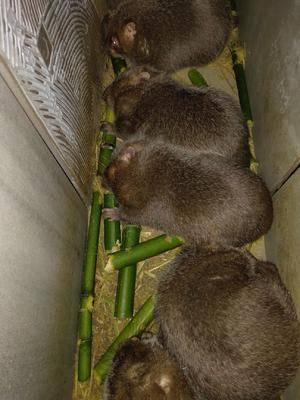江西省贛州市于都縣竹鼠肉 提供竹鼠一系列服務,量大優惠,需要的聯系我。