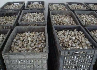 山東省青島市平度市黃羽鵪鶉蛋 食用 散裝