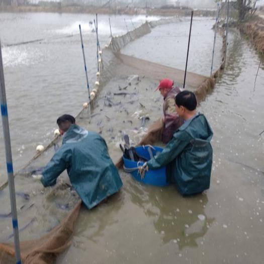 廣東省佛山市南海區鴨嘴鱘 人工養殖 2-4公斤