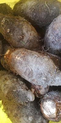 廣西壯族自治區桂林市恭城瑤族自治縣檳榔芋 檳榔香芋