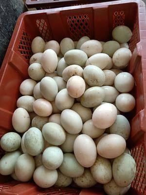 江西省九江市修水縣 新鮮的鴨蛋