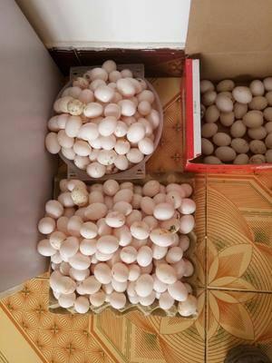河北省滄州市河間市肉鴿蛋 鴿蛋