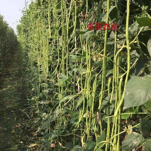 河南省郑州市惠济区 夏季耐热豆角种子,产量高,高温不落花高温颜色不大白肉厚无籽