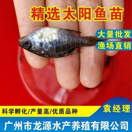 广东省广州市花都区 太阳鱼苗太阳鱼苗养殖