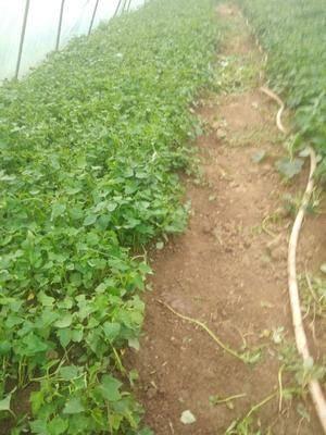 安徽省滁州市來安縣紫羅蘭紫薯苗 種類有,黃皮黃心的,紅皮黃心的,紅皮白心的。