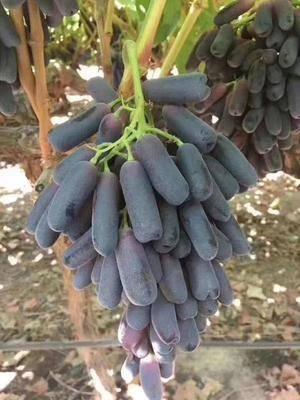 山東省濰坊市昌樂縣藍寶石葡萄苗 美國甜蜜藍寶石 產地直發