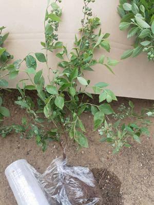 山東省臨沂市平邑縣藍豐藍莓苗 包成活,包掛果,帶土帶果發貨