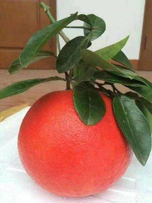 廣西壯族自治區欽州市靈山縣 正宗紅寶石葡萄柚苗 產量超高 水分許多