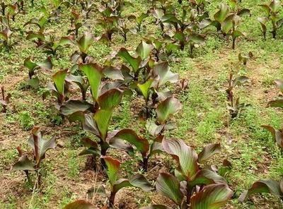 廣東省廣州市增城區芭蕉芋 蕉芋苗